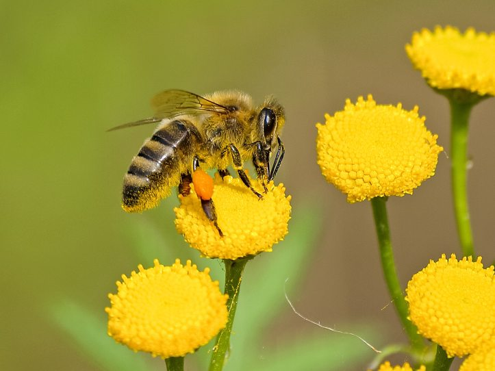 Bees cross pollinate the Earth's crops